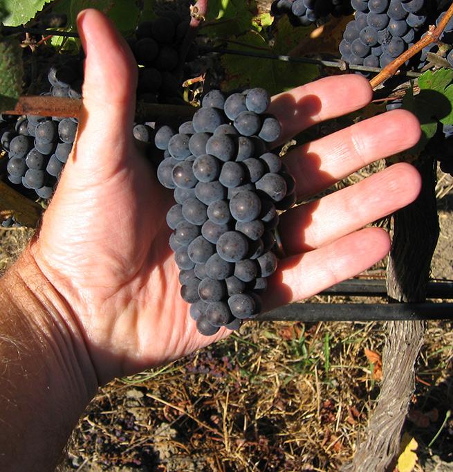 Sonoma County Pinot Noir vineyard